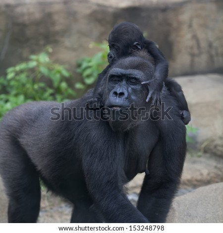 Funny family portrait of gorilla mother with her baby. Cute and cuddly monkey, the great ape. The most powerful and biggest primate of the world. - stock photo