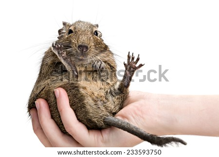 funny fat hamster sitting on human hand full-length closeup isolated on white background - stock photo