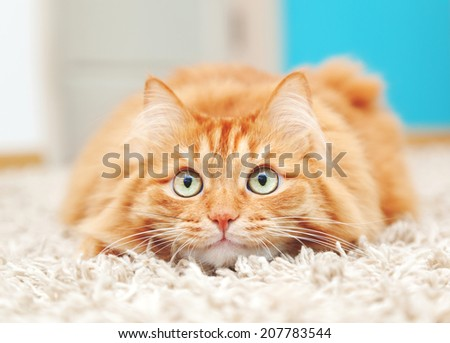 funny fluffy ginger cat - stock photo