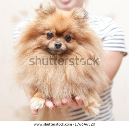 funny fluffy Pomeranian sits on hands at the mistress