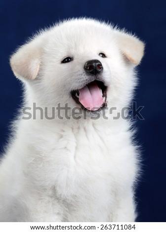 Funny fluffy white puppy yawns - stock photo