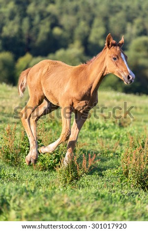 Funny foal running free in summer pasture.