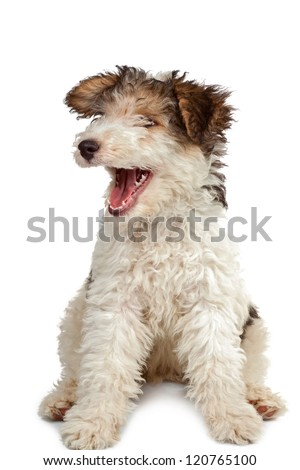 funny fox terrier puppy with open jaws on white background - stock photo