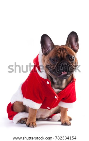 Funny french bulldog in Santa suit isolated on white