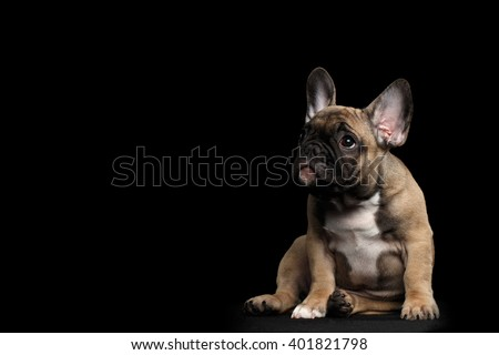 Funny French Bulldog Puppy Cute Sitting and Pity Looking up , Front view,  Isolated on black background - stock photo