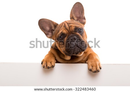 Funny French Bulldog puppy over a white banner, isolated
