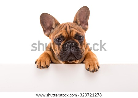 Funny French Bulldog puppy over a white banner, isolated - stock photo