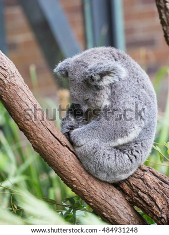 funny furry koala sleeping on a eucalyptus tree branch, Australia