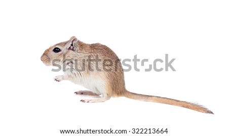 Funny gergil isolated on a white background - stock photo