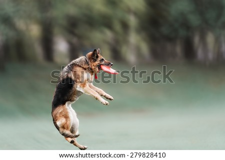 Funny German shepherd catching disc in jump - stock photo