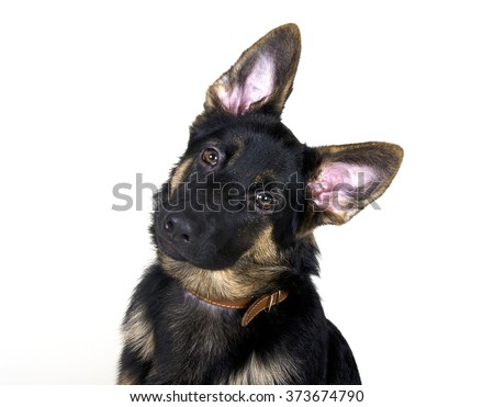 Funny German shepherd puppy with long ears and head tilted (isolated on white) - stock photo