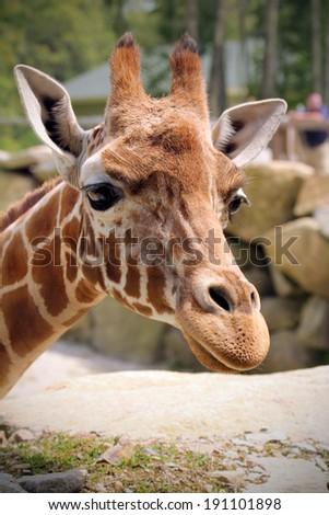 Funny giraffe. Close up  - stock photo