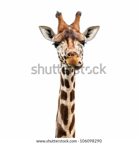 Funny giraffe's face isolated - stock photo