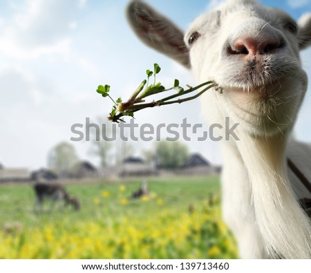Funny goat grazing on a spring meadow - stock photo