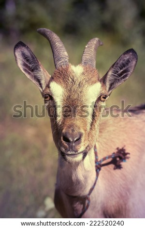 Funny goat looking the camera - in a retro vintage filter - stock photo