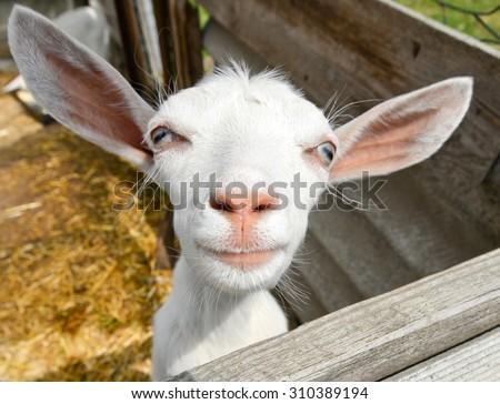 Funny goat on farm/Funny goat/Funny goat on farm, Ukraine - stock photo