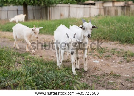 Funny goats grazing on a green field