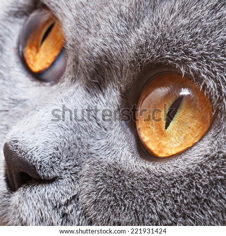 Funny gray British cat with bright yellow eyes close-up - stock photo