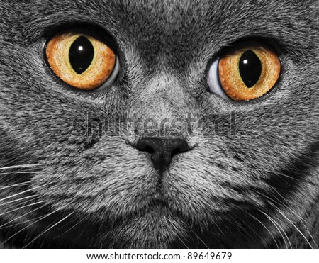 Funny gray British cat with bright yellow eyes, close-up