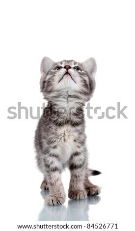Funny gray kitten isolated on white - stock photo