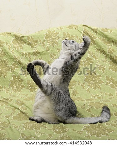 Funny grey cat jumping, cat playing football, jumping cat - stock photo