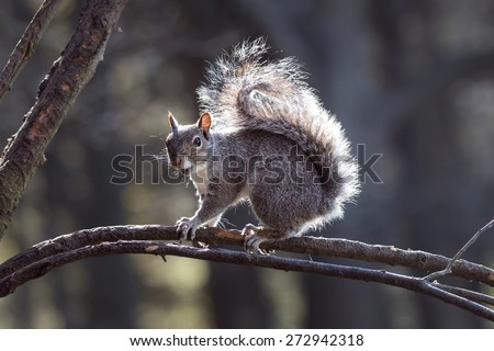 Funny Grey Squirrel looking shocked with mouth open - stock photo