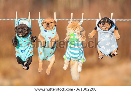Funny group of american staffordshire terrier puppies with little red cat hanging on a clothesline  - stock photo