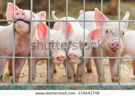 funny group of little pigs on farm - stock photo