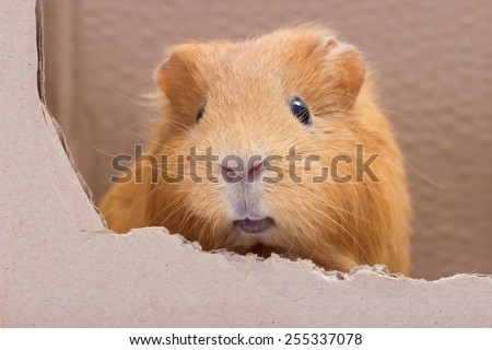 funny guinea pig - stock photo