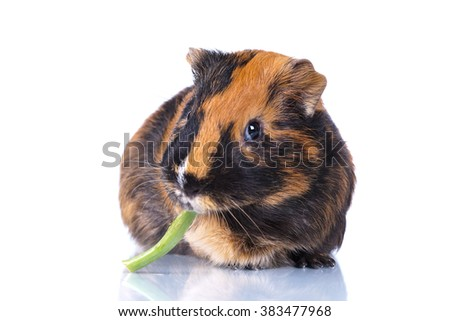 Funny guinea pig holding a blade of grass in his mouth on a white background