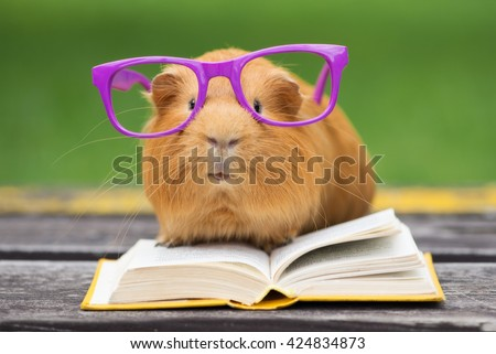 funny guinea pig in glasses reading a book outdoors