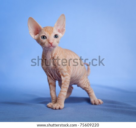 Funny hairless sphynx tabby kitten on blue - stock photo