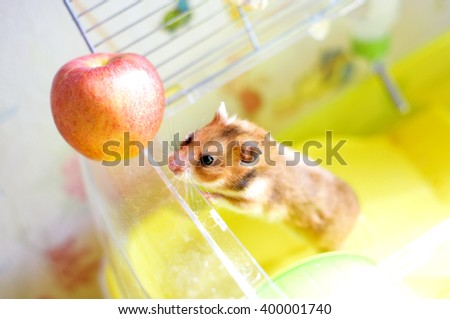 Funny  hamster gets to the apple - stock photo