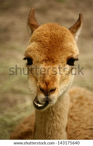 Funny, happy alpaca llama with teeth and big brown eyes; close up portrait. Animal in zoo photography - stock photo