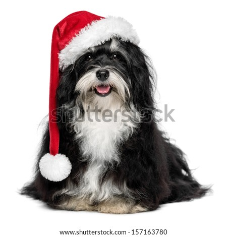Funny happy sitting Bichon Havanese dog in a Christmas - Santa hat and with white beard. Isolated on a white background