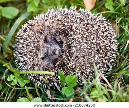 funny hedgehog ball with eyes and nose closeup on green gress background - stock photo