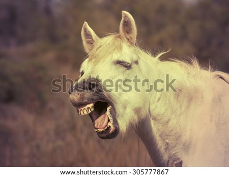 Funny horse laughing in the camera