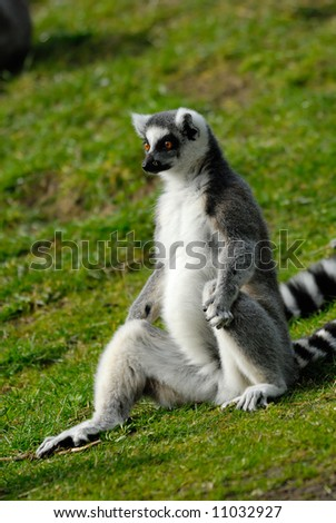 funny image of a ring-tailed lemur - stock photo