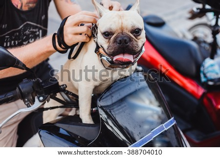 Funny image of handsome man walking with his dog ,french-bulldog human friend,dog enjoy ride on motorcycle/bicycle/car.French Bulldog puppy sitting and staring,Concepts of friendship,pets,togetherness - stock photo