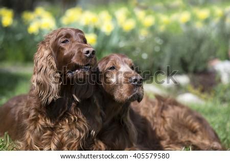 Funny Irish Setter dog couple looking  - stock photo