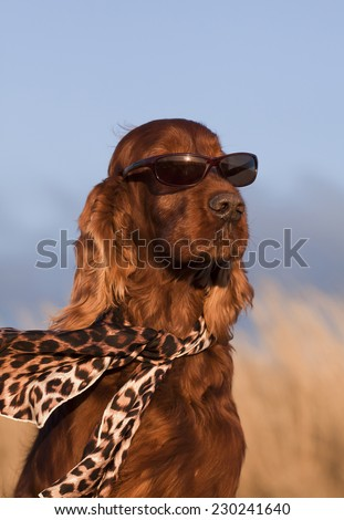 Funny Irish Setter with sunglasses and scarf - stock photo