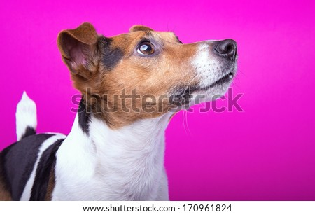 Funny Jack Russel terrier dog is isolated on a pink background - stock photo