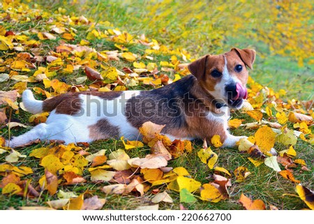 Funny jack russell terrier. Dog on autumn leaves - stock photo
