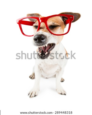 Funny Jack Russell terrier dog with red glasses without lenses and dissatisfied angry face
