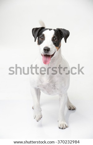 Funny jack russell terrier on the white backround in the studio. It looks ahead with his tongue hanging out and one paw raised. Vertical photo.