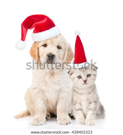 Funny kitten and golden retriever puppy in red christmas hats together. isolated on white background