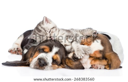 Funny kitten lying on the puppies basset hound. isolated on white background - stock photo