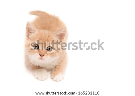 Funny kitten lying on the studio floor hunting - stock photo