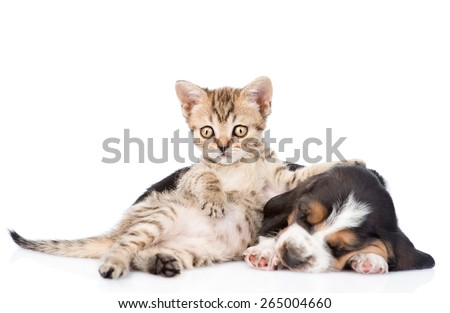 Funny  kitten lying with sleeping basset hound puppy. isolated on white background - stock photo