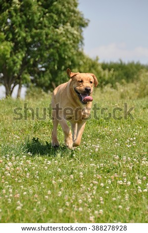 funny Labrador dog running on the grass